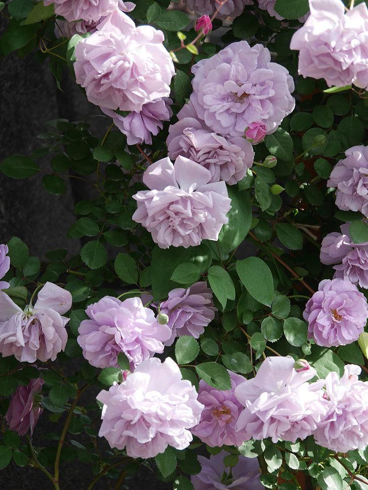 レイニーブルー(Rainy Blue)の花がたくさん咲いた。ツルバラ。2021年-102.jpg