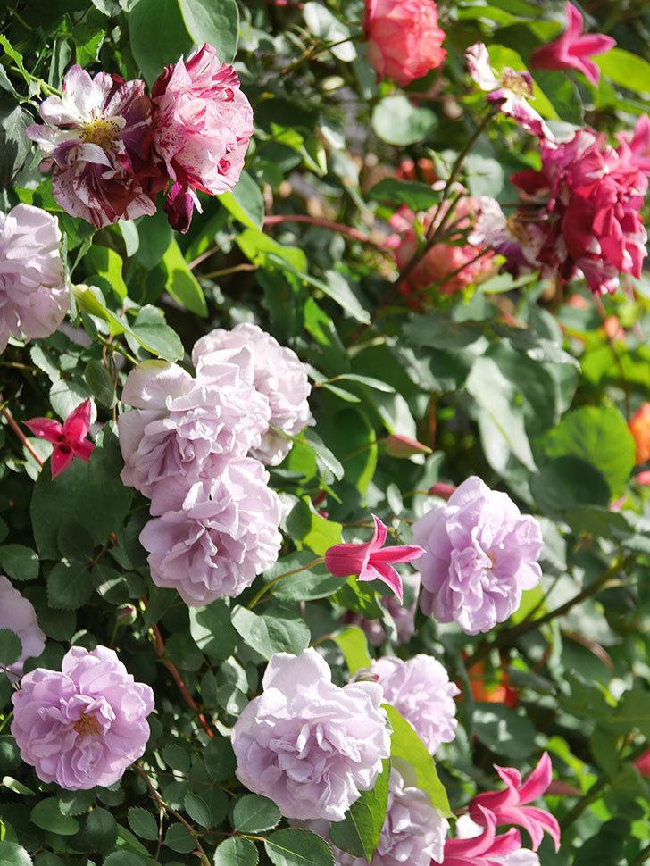 レイニーブルー(Rainy Blue)の花がたくさん咲いた。ツルバラ。2021年-103.jpg