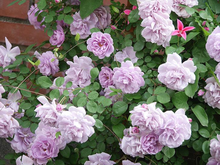 レイニーブルー(Rainy Blue)の花がたくさん咲いた。ツルバラ。2021年-104.jpg