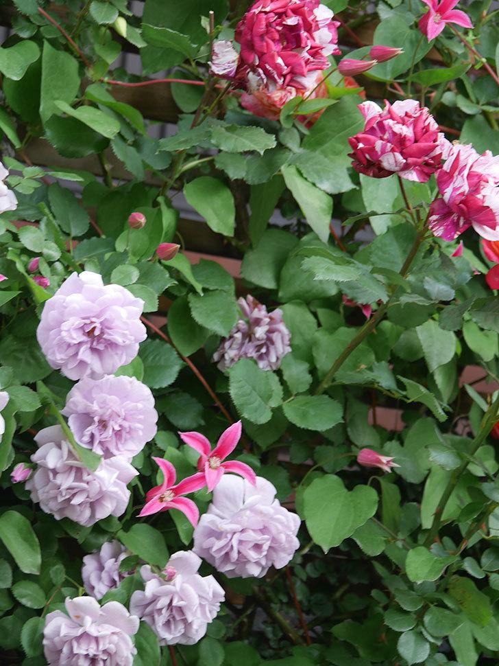 レイニーブルー(Rainy Blue)の花がたくさん咲いた。ツルバラ。2021年-106.jpg