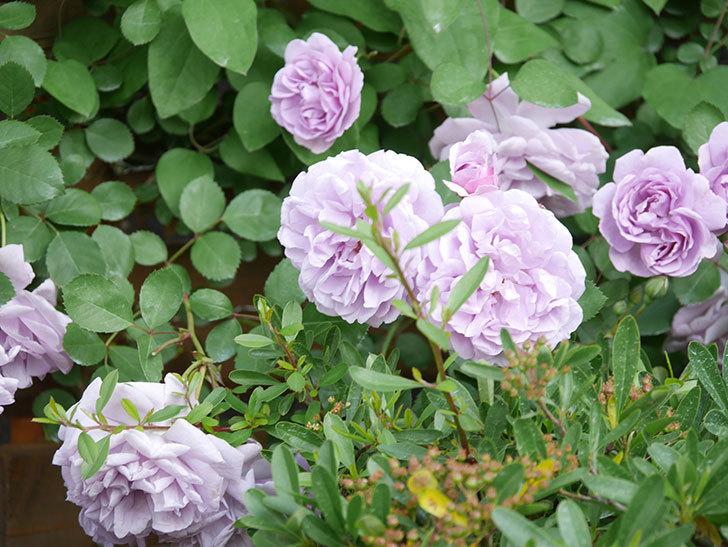 レイニーブルー(Rainy Blue)の花がたくさん咲いた。ツルバラ。2021年-107.jpg