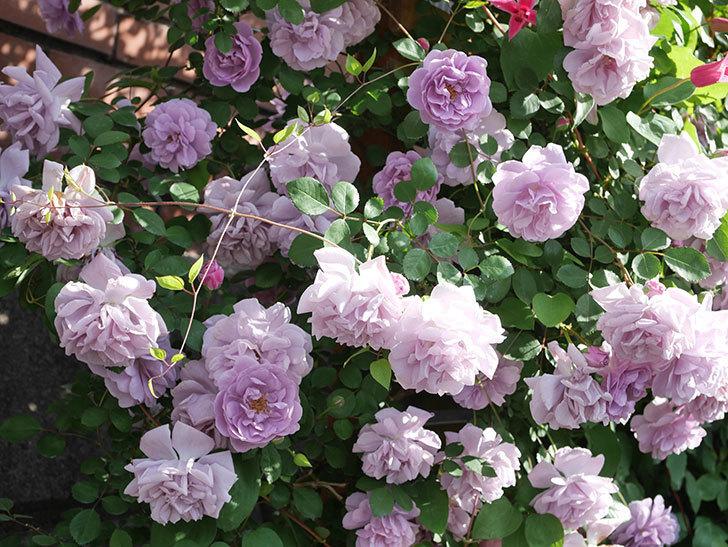 レイニーブルー(Rainy Blue)の花がたくさん咲いた。ツルバラ。2021年-108.jpg