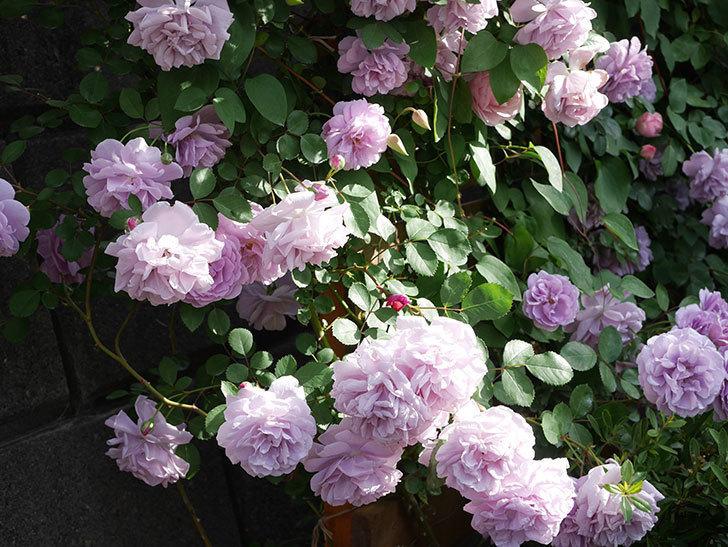 レイニーブルー(Rainy Blue)の花がたくさん咲いた。ツルバラ。2021年-109.jpg