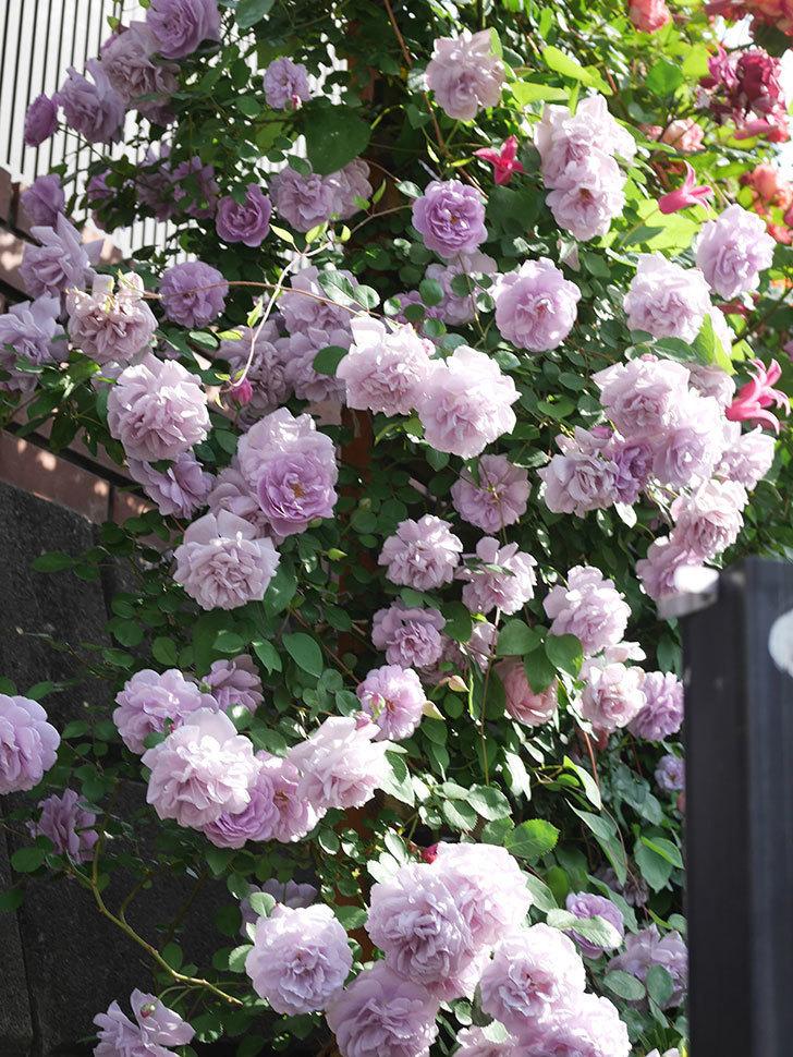 レイニーブルー(Rainy Blue)の花がたくさん咲いた。ツルバラ。2021年-111.jpg
