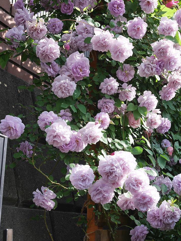 レイニーブルー(Rainy Blue)の花がたくさん咲いた。ツルバラ。2021年-112.jpg