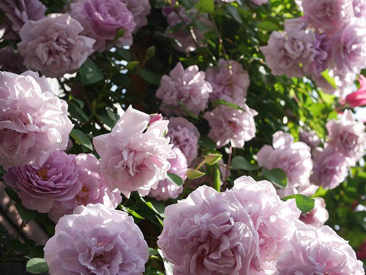 レイニーブルー(Rainy Blue)の花がたくさん咲いた。ツルバラ。2021年-115.jpg