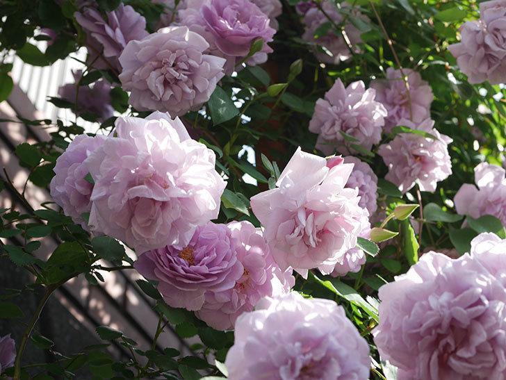 レイニーブルー(Rainy Blue)の花がたくさん咲いた。ツルバラ。2021年-116.jpg