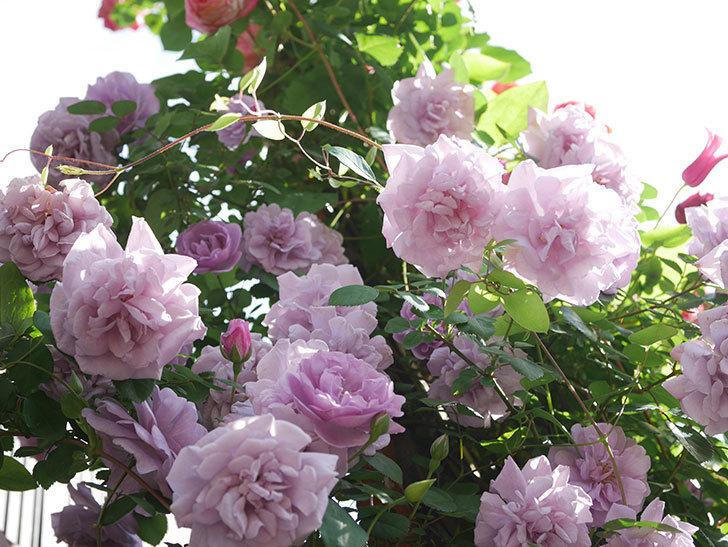 レイニーブルー(Rainy Blue)の花がたくさん咲いた。ツルバラ。2021年-118.jpg