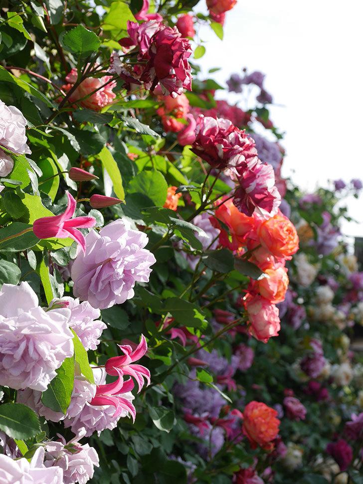 レイニーブルー(Rainy Blue)の花がたくさん咲いた。ツルバラ。2021年-121.jpg