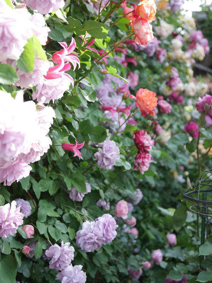 レイニーブルー(Rainy Blue)の花がたくさん咲いた。ツルバラ。2021年-123.jpg