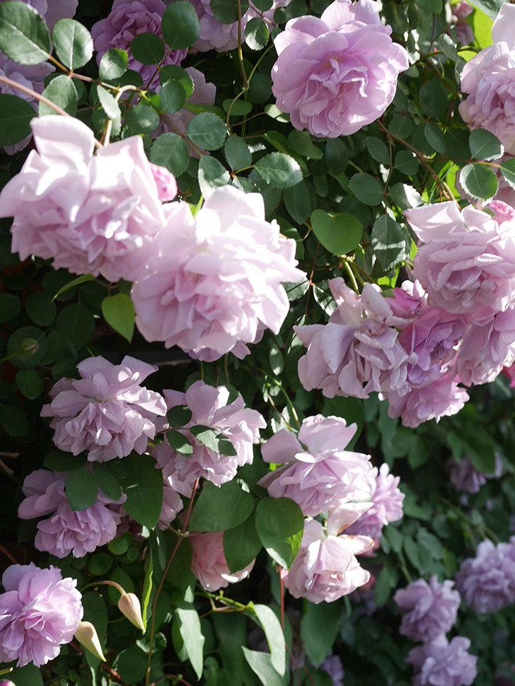 レイニーブルー(Rainy Blue)の花がたくさん咲いた。ツルバラ。2021年-124.jpg