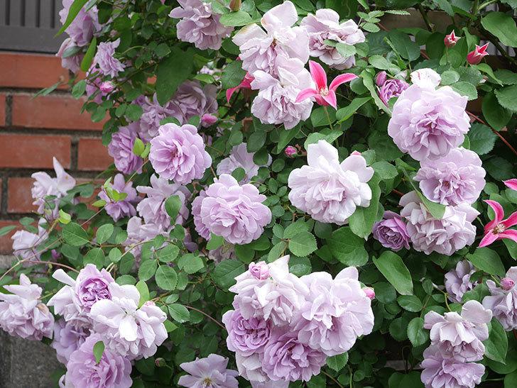 レイニーブルー(Rainy Blue)の花がたくさん咲いた。ツルバラ。2021年-125.jpg