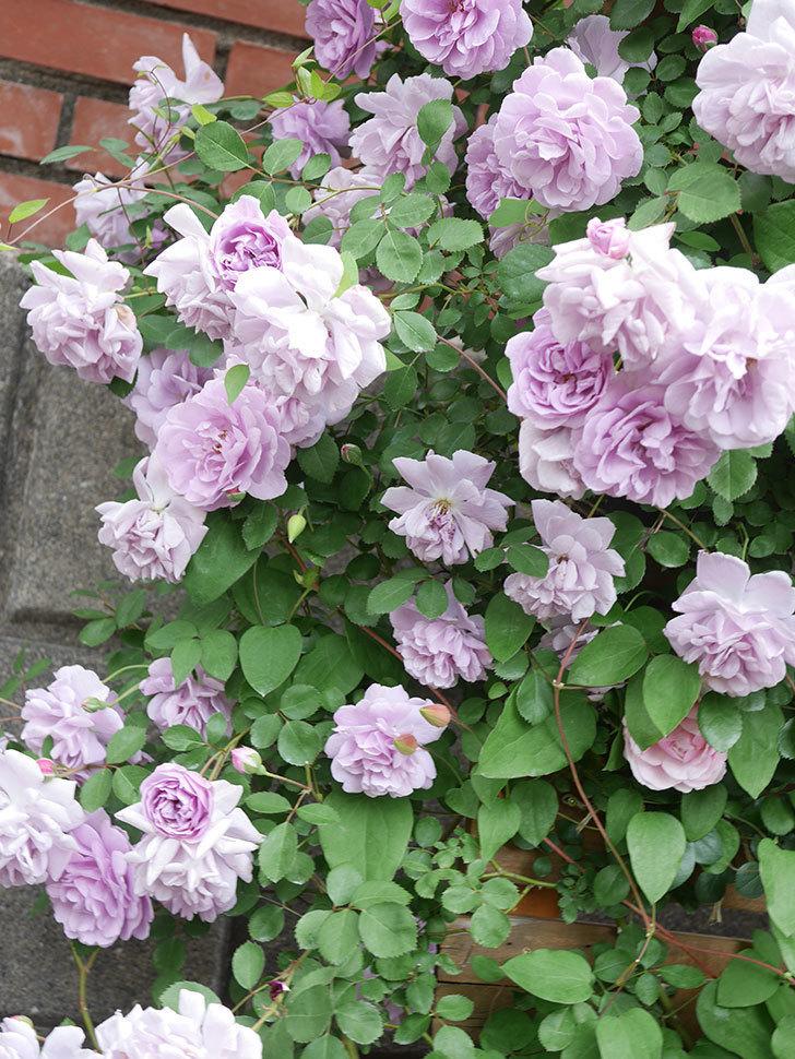 レイニーブルー(Rainy Blue)の花がたくさん咲いた。ツルバラ。2021年-130.jpg