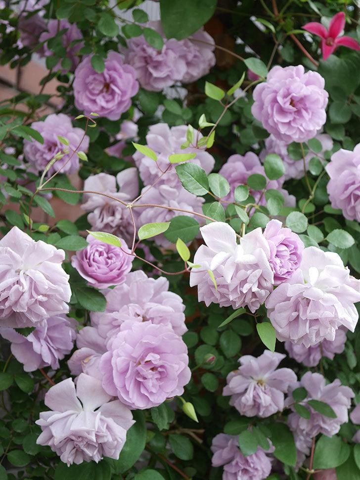レイニーブルー(Rainy Blue)の花がたくさん咲いた。ツルバラ。2021年-131.jpg