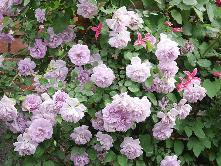 レイニーブルー(Rainy Blue)の花がたくさん咲いた。ツルバラ。2021年-136.jpg