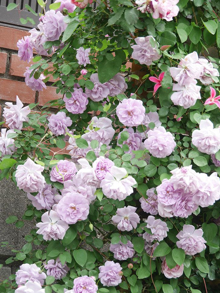 レイニーブルー(Rainy Blue)の花がたくさん咲いた。ツルバラ。2021年-137.jpg