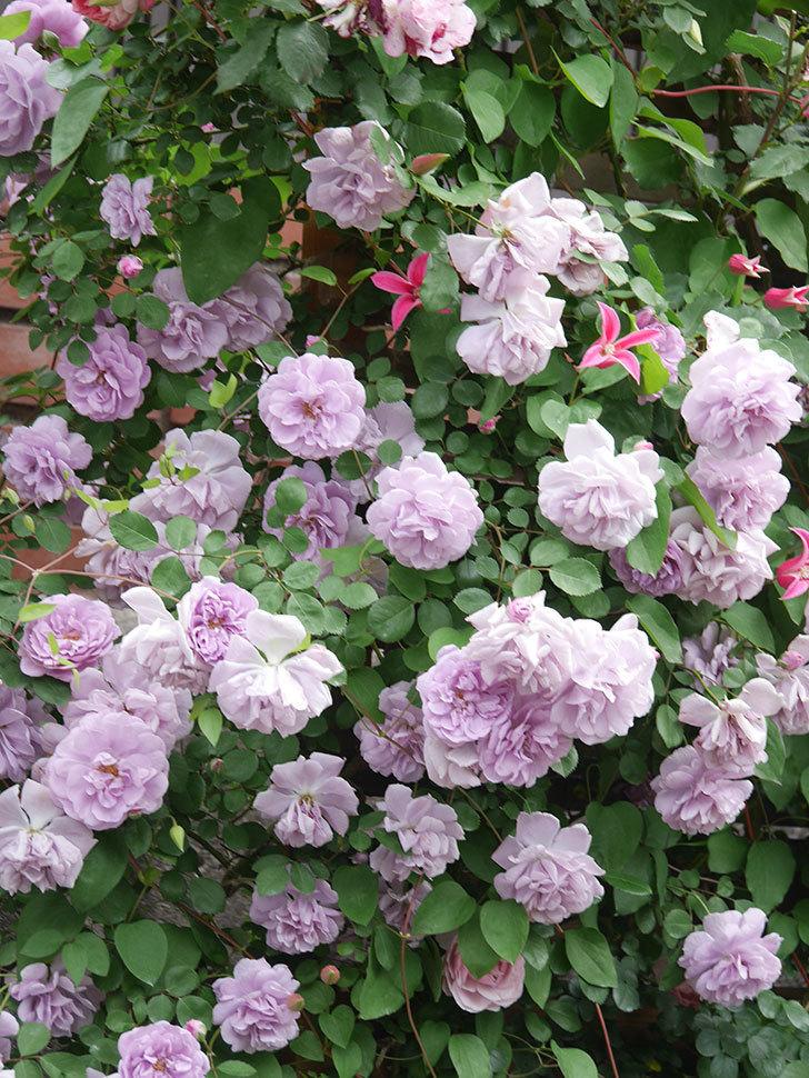 レイニーブルー(Rainy Blue)の花がたくさん咲いた。ツルバラ。2021年-139.jpg