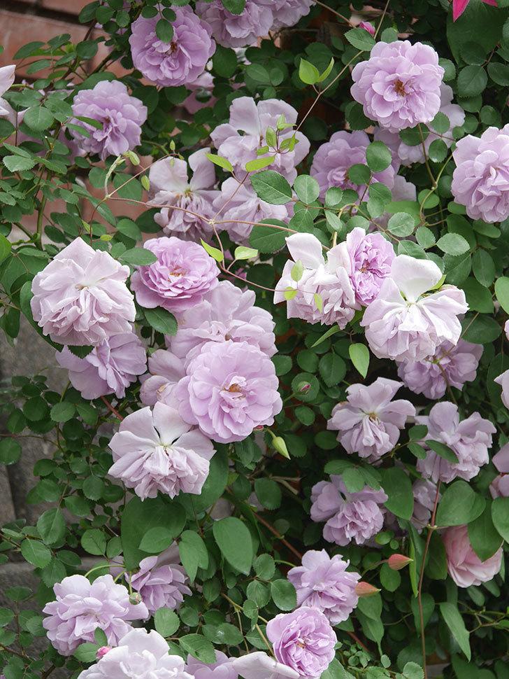 レイニーブルー(Rainy Blue)の花がたくさん咲いた。ツルバラ。2021年-140.jpg