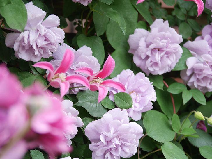 レイニーブルー(Rainy Blue)の花がたくさん咲いた。ツルバラ。2021年-142.jpg