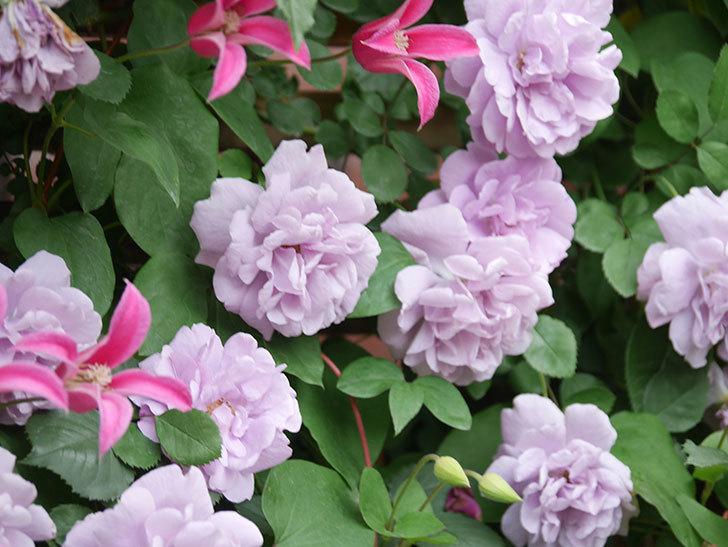 レイニーブルー(Rainy Blue)の花がたくさん咲いた。ツルバラ。2021年-143.jpg