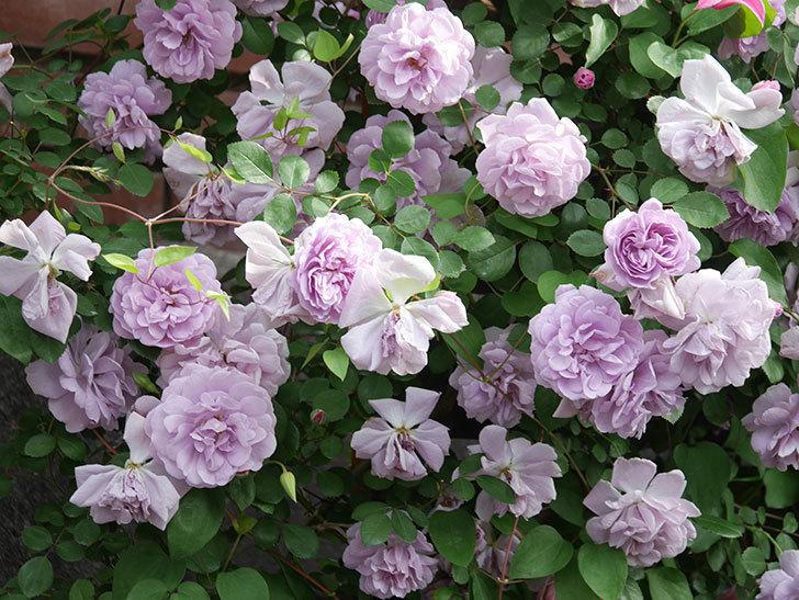 レイニーブルー(Rainy Blue)の花がたくさん咲いた。ツルバラ。2021年-145.jpg