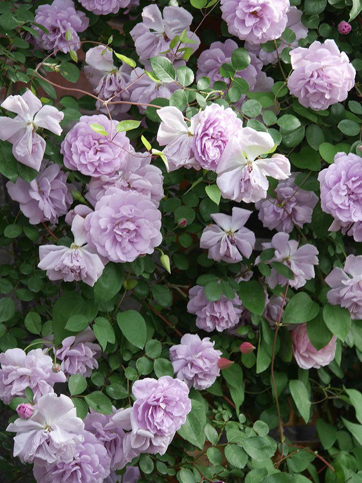 レイニーブルー(Rainy Blue)の花がたくさん咲いた。ツルバラ。2021年-147.jpg