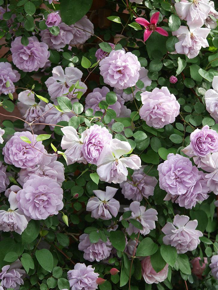 レイニーブルー(Rainy Blue)の花がたくさん咲いた。ツルバラ。2021年-148.jpg