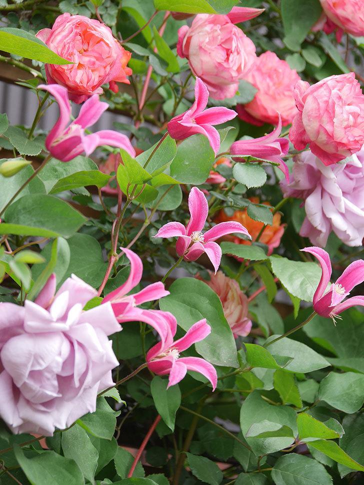 レイニーブルー(Rainy Blue)の花がたくさん咲いた。ツルバラ。2021年-149.jpg