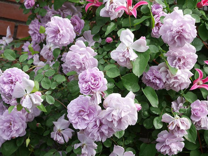 レイニーブルー(Rainy Blue)の花がたくさん咲いた。ツルバラ。2021年-155.jpg