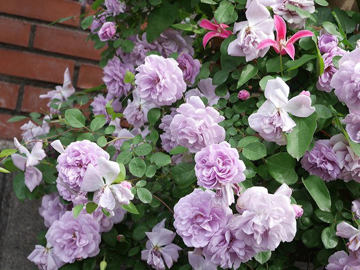 レイニーブルー(Rainy Blue)の花がたくさん咲いた。ツルバラ。2021年-156.jpg