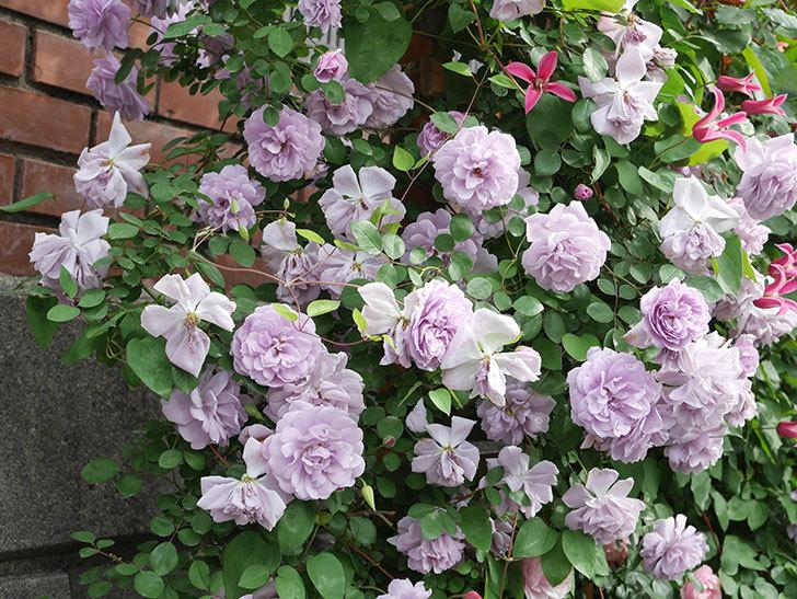 レイニーブルー(Rainy Blue)の花がたくさん咲いた。ツルバラ。2021年-157.jpg