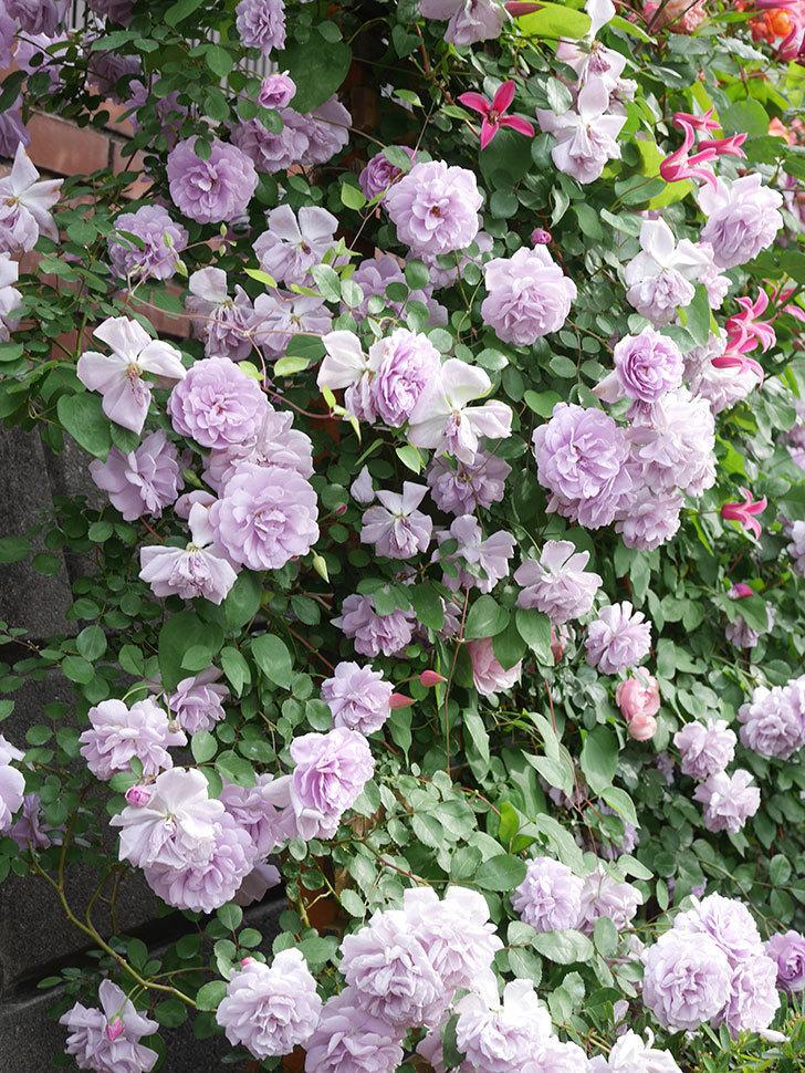 レイニーブルー(Rainy Blue)の花がたくさん咲いた。ツルバラ。2021年-159.jpg