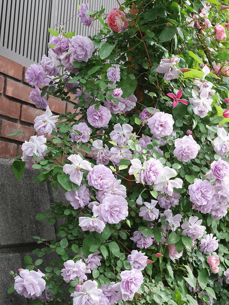 レイニーブルー(Rainy Blue)の花がたくさん咲いた。ツルバラ。2021年-161.jpg