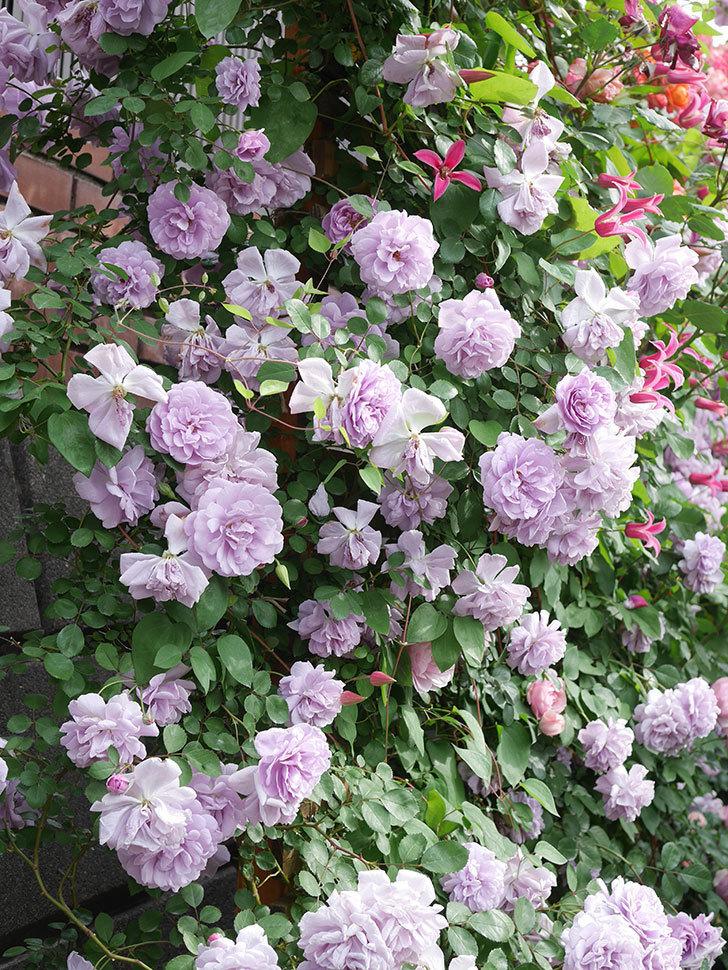 レイニーブルー(Rainy Blue)の花がたくさん咲いた。ツルバラ。2021年-163.jpg