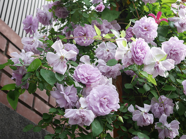 レイニーブルー(Rainy Blue)の花がたくさん咲いた。ツルバラ。2021年-164.jpg