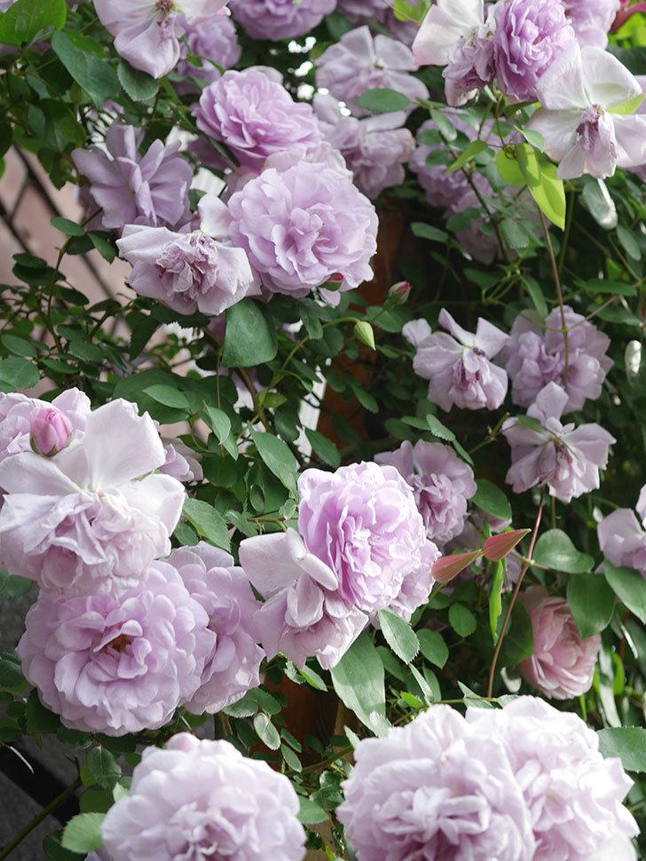 レイニーブルー(Rainy Blue)の花がたくさん咲いた。ツルバラ。2021年-165.jpg