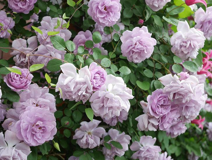 レイニーブルー(Rainy Blue)の花がたくさん咲いた。ツルバラ。2021年-167.jpg