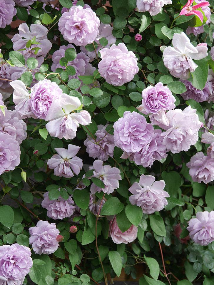 レイニーブルー(Rainy Blue)の花がたくさん咲いた。ツルバラ。2021年-170.jpg