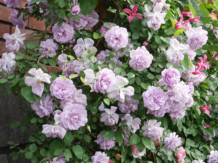 レイニーブルー(Rainy Blue)の花がたくさん咲いた。ツルバラ。2021年-172.jpg