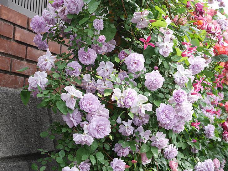 レイニーブルー(Rainy Blue)の花がたくさん咲いた。ツルバラ。2021年-173.jpg