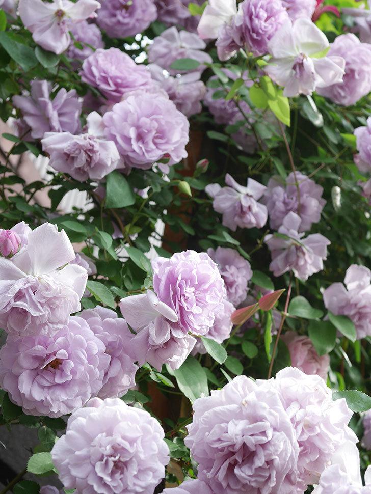 レイニーブルー(Rainy Blue)の花がたくさん咲いた。ツルバラ。2021年-174.jpg