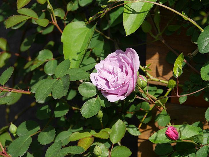 レイニーブルー(Rainy Blue)の花が咲いた。ツルバラ。2021年-001.jpg
