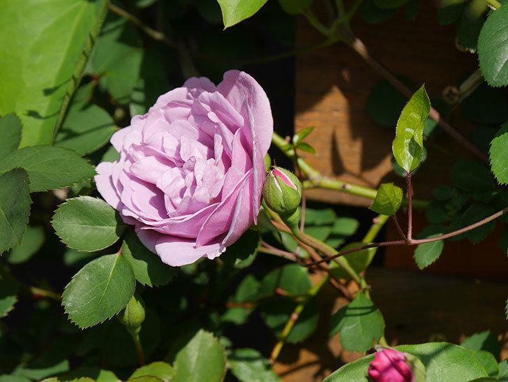 レイニーブルー(Rainy Blue)の花が咲いた。ツルバラ。2021年-002.jpg