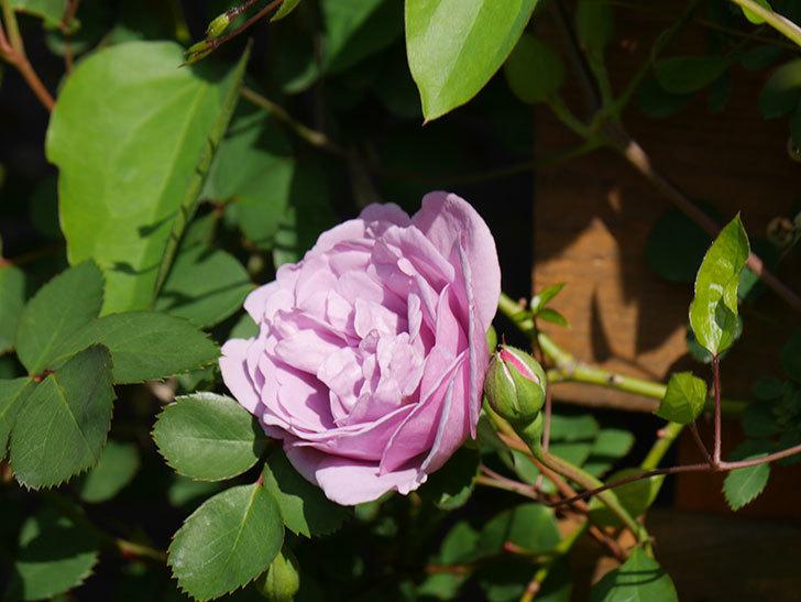 レイニーブルー(Rainy Blue)の花が咲いた。ツルバラ。2021年-003.jpg