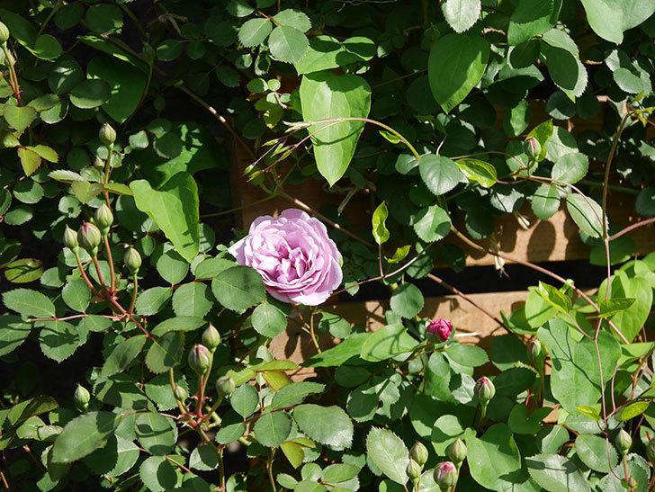 レイニーブルー(Rainy Blue)の花が咲いた。ツルバラ。2021年-005.jpg