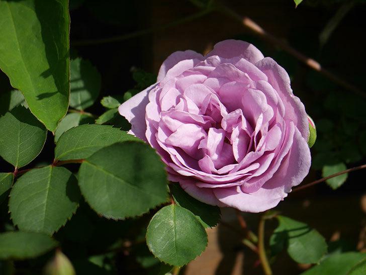 レイニーブルー(Rainy Blue)の花が咲いた。ツルバラ。2021年-009.jpg