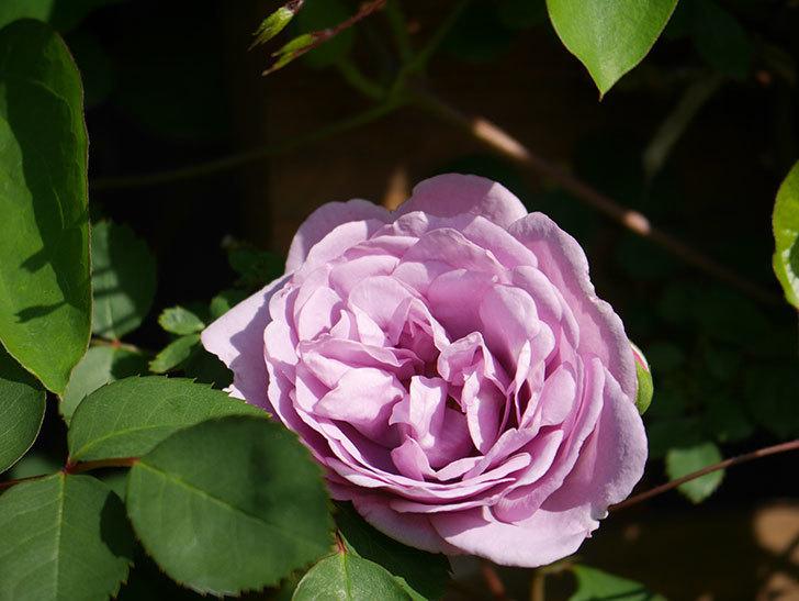 レイニーブルー(Rainy Blue)の花が咲いた。ツルバラ。2021年-011.jpg