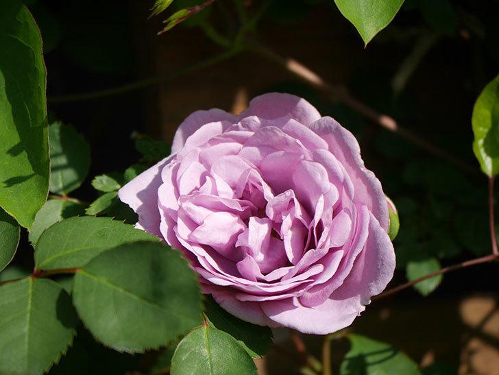 レイニーブルー(Rainy Blue)の花が咲いた。ツルバラ。2021年-012.jpg