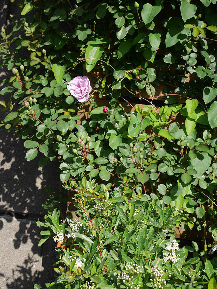 レイニーブルー(Rainy Blue)の花が咲いた。ツルバラ。2021年-014.jpg