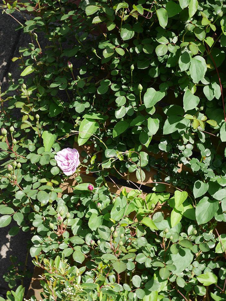 レイニーブルー(Rainy Blue)の花が咲いた。ツルバラ。2021年-015.jpg